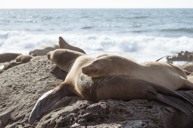 La Jolla, Beach - Two sea lions in larger group with one head on other