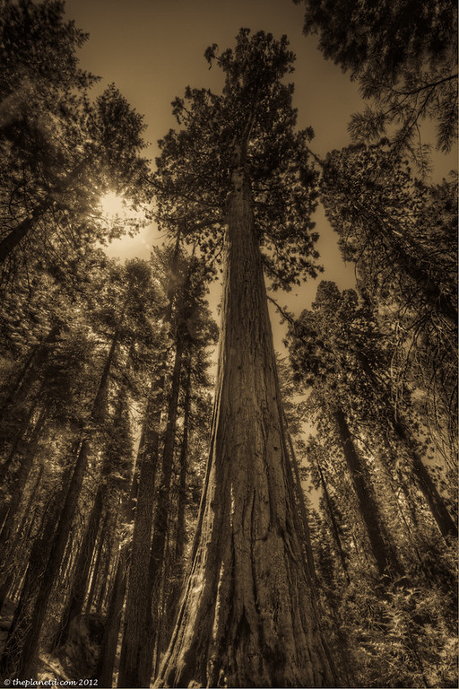 A Sequoia Tree rises majestically in the Mariposa Grove in Yosemite National Park