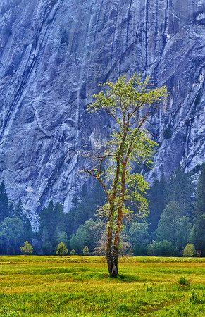 Lone tree in the Meadows copy - Copy