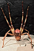 Phoneutria Boliviensis Wandering Spider.. The Denver Museum of Nature & Science