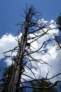 A dead tree along the trail - San Isabel National Forest, CO ... July 14, 2006 ... Photo by Rob Page III