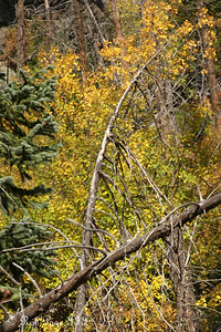 The Aspen trees are turning golden - Rocky Mountain N.P., ... September 20, 2008 ... Photo by Rob Page III