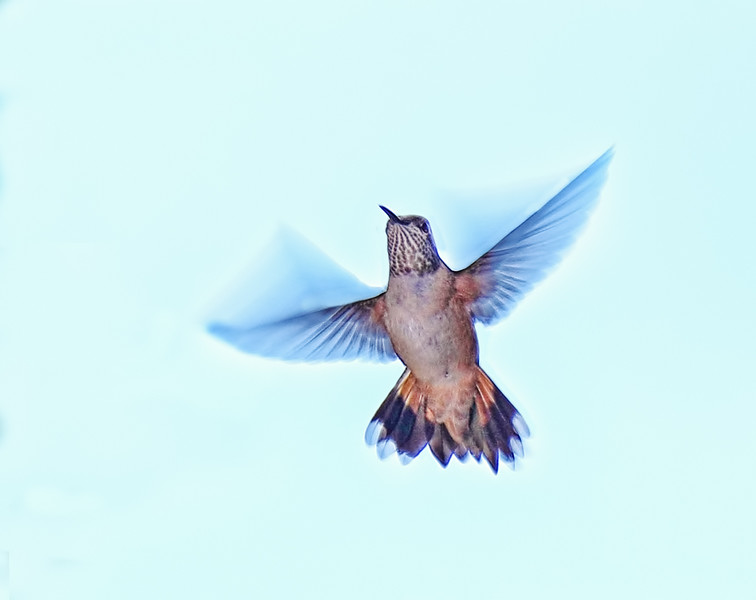 Broad-tailed Hummingbird - Female