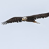 Bald Eagle - Mary's Lake