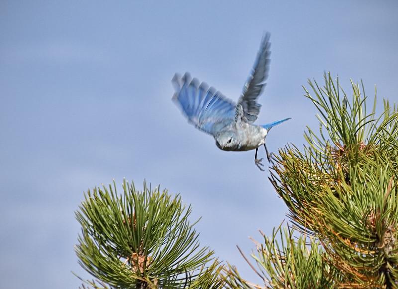 Western Bluebird - Juvenile