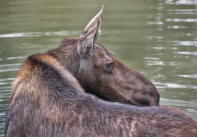 Moose - Female