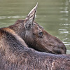 Moose - Female