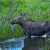 Moose - Colorado River