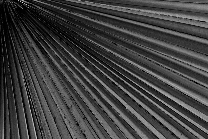 Denver, Botanic Gardens - Black and white close up of a palm leaf