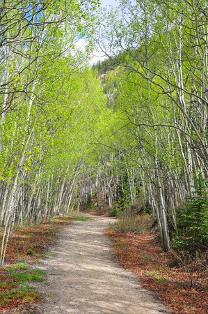 Aspens along trail in Colorado