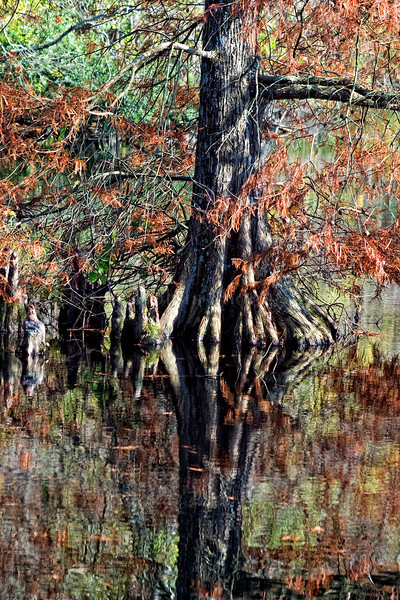 """Delaware's Cypress Swamp. Freshwater wetlands once covered a large portion of southwestern Sussex County. Trap Pond State Park retains a part of the swamp's original beauty and mystery, and features the northernmost natural stand of baldcypress trees in the United States. The pond was created in the late 1700s to power a sawmill during the harvest of large baldcypress from the area. The Federal Government later purchased the pond and surrounding farmland during the 1930s and the Civilian Conservation Corps began to develop the area for recreation. Trap Pond became one of Delaware's first state parks in 1951. <a href=""""http://www.destateparks.com/park/trap%2Dpond"""">http://www.destateparks.com/park/trap%2Dpond</a>"""