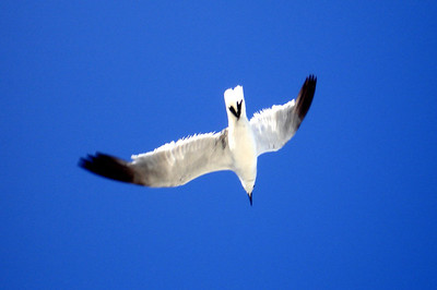 Seagull - Miami Beach, FL ... September 18, 2005 ... Photo by Rob Page III