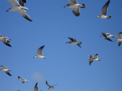 Seagulls - Miami Beach, FL ... September 18, 2005 ... Photo by Rob Page III