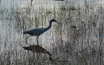 Little Blue Heron, Lake Woodruff National Wildlife Refuge, Florida