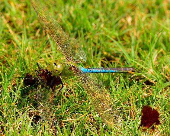 Dragonfly eating another