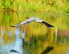 Wild wing span