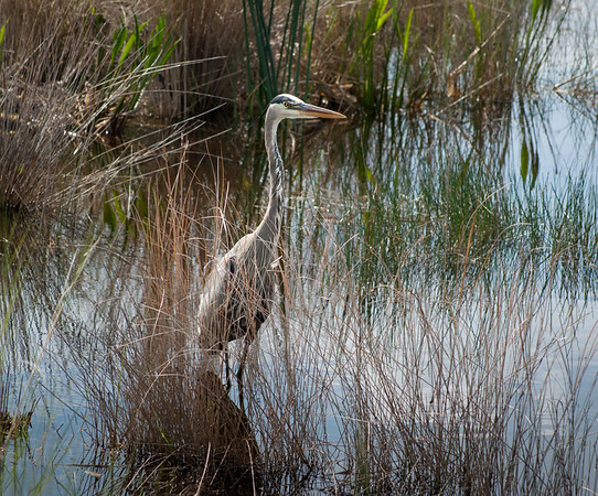 Great Blue Heron, Lake Woodruff National Wildlife Refuge, Florida