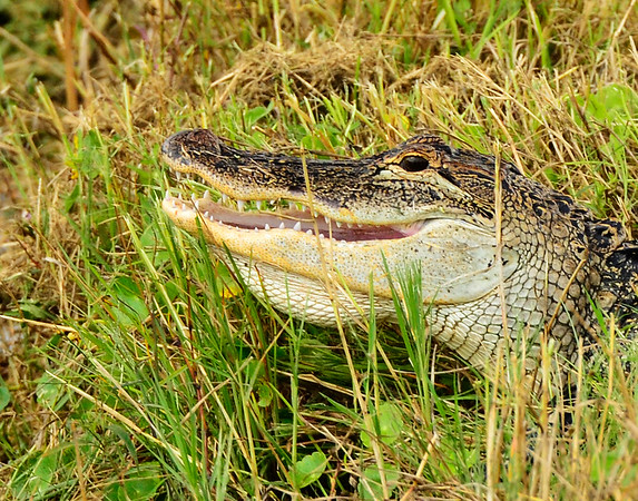 Gator teeth