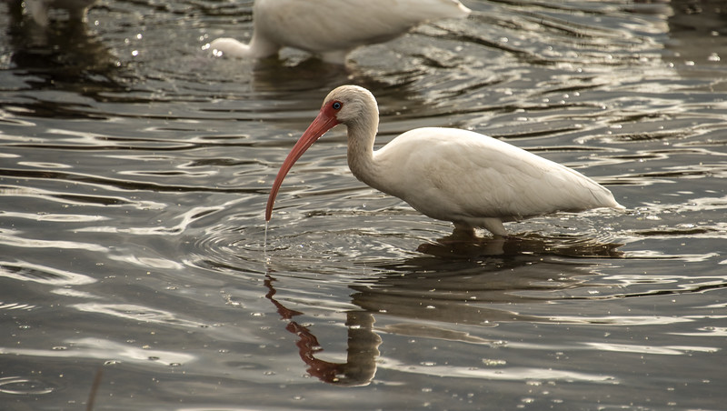 Ibis - Crystal River NWR