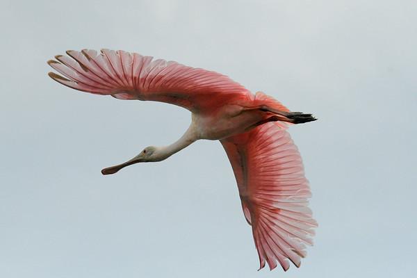 Gorgeous Pink Bird in flight