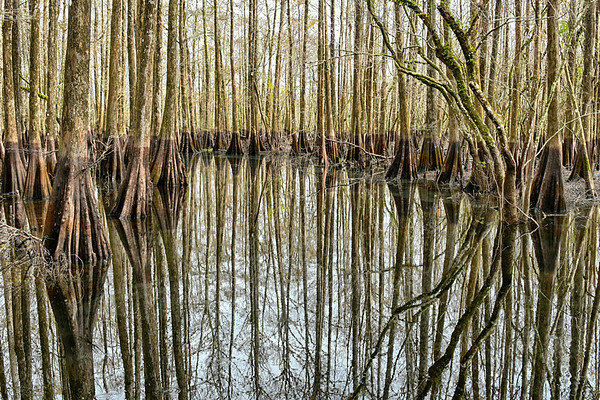 Cypress trees in Forest in Swamplands