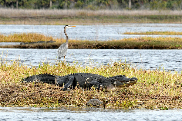 Gator and Turtle and Blue Heron