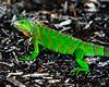 Iguana in wood