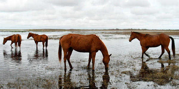Four Horses in Water