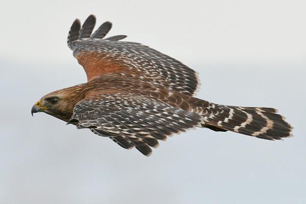 Hawk gorgeous