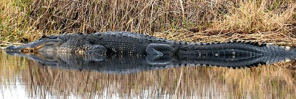 Gator and reflection