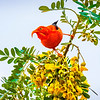 ʻIʻiwi Honeycreeper - Haleakalā National Park, HI