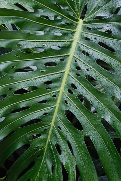 Hawaii, Big Island - Close up of leaf