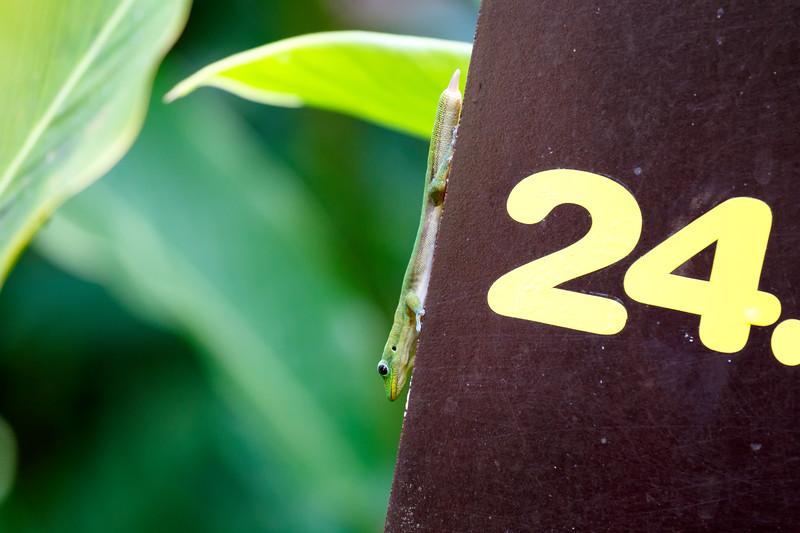 Hawaii, Big Island - Gecko on a sign that says 24