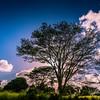 Trees in Kauai