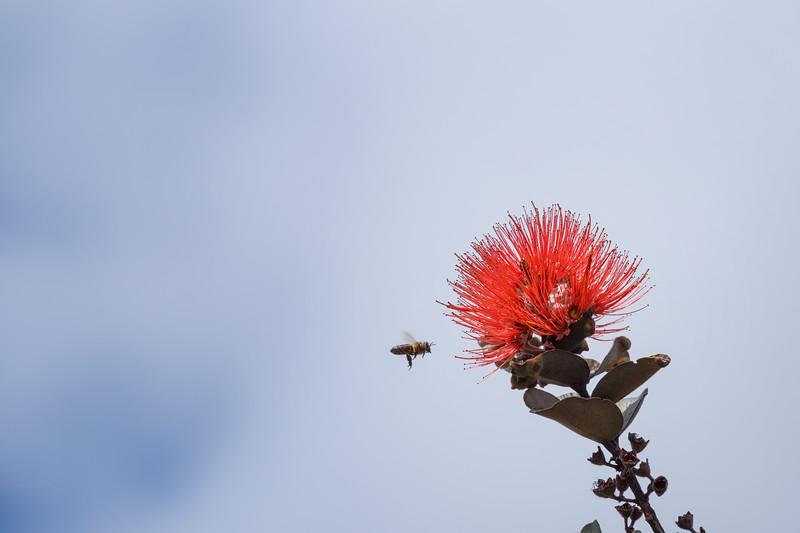 Hawaii, Big Island - Bee visiting a flower