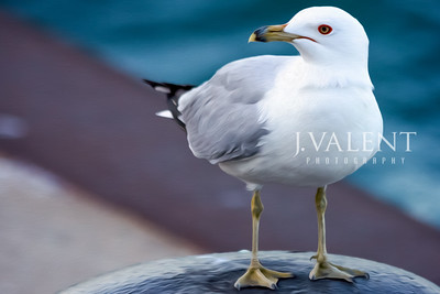 Profile of a Ring-billed Gull, Larus delawareness