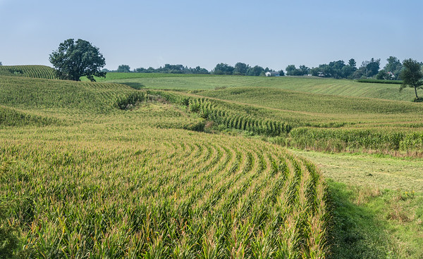Land Paved With Golden Corn, Iowa