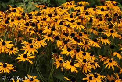 Black-eyed Susans - Pemaquid, ME ... September 4, 2010 ... Photo by Rob Page III