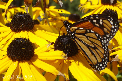 A monarch butterfly - Pemaquid, ME ... September 1, 2007 ... Photo by Rob Page III