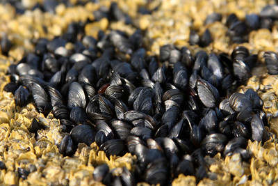 Mussels clinging to the rocks - Pemaquid, ME ... August 29, 2008 ... Photo by Rob Page III