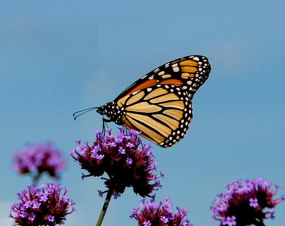 Monarch, Bar Harbor, Maine