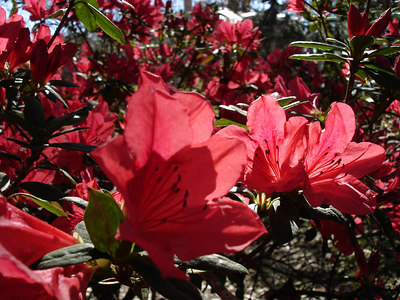 The beautiful flowers at the Oak Alley Plantation - Vacherie, LA ... February 27, 2006 ... Photo by Emily Conger
