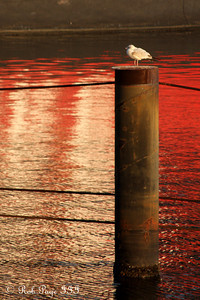 A loan seagull hanging out - Baltimore, MD ... October 12, 2009 ... Photo by Rob Page III