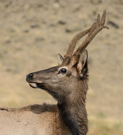 Montana Stag