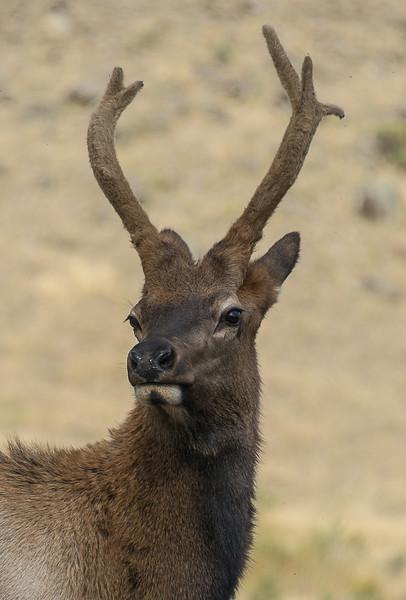 Elk Stag; Montana