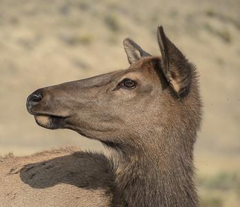 Elk Doe, Montana