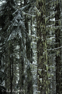 A douglas fir tree - Mt. Hood, OR ... May 4, 2012 ... Photo by Rob Page III