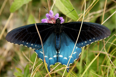 A beautiful butterfly - Asheville, NC ... August 9, 2008 ... Photo by Rob Page III