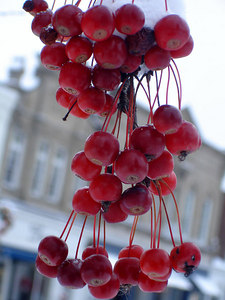Berries - Chagrin Falls, OH ... November 24, 2005 ... Photo by Rob Page III
