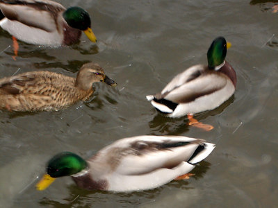 The ducks - Chagrin Falls, OH ... November 24, 2005 ... Photo by Rob Page III